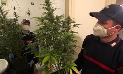 Arresto in Giudecca: quarantenne coltivava marijuana in casa