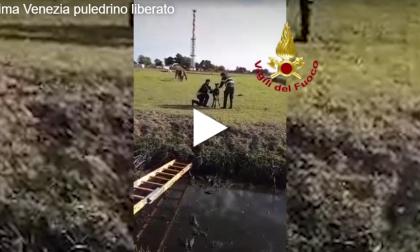 Puledrino salvato dai Vigili del Fuoco: era caduto in un canale a Cavallino - Treporti VIDEO