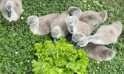 Sette nuovi cigni nati grazie al Centro di Recupero Fauna Selvatica della Provincia