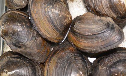 Chioggia, incontro della regione con il Conservificio allevatori molluschi: massima tutela per i lavoratori