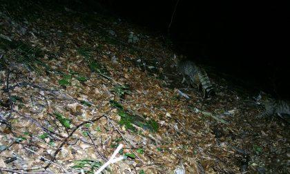 Parco delle Dolomiti Bellunesi, prima riproduzione accertata di gatto selvatico