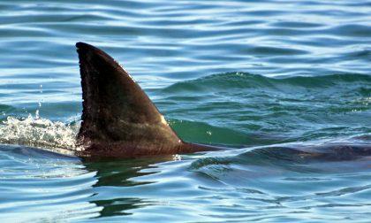 """Uno squalo a Venezia, è mistero: """"Lungo un metro, mi ha morso"""""""