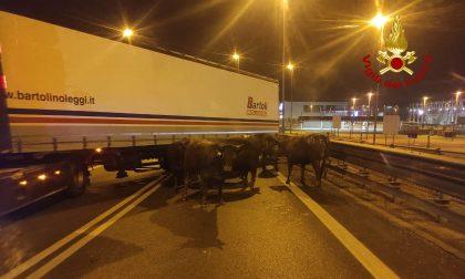 Le foto dei bovini sulla Romea dopo l'incendio del camion