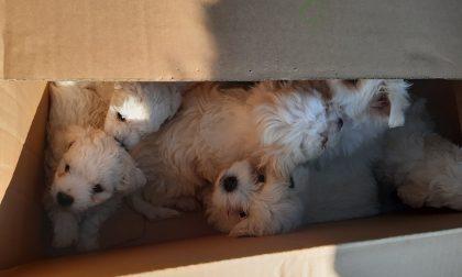 Cuccioli di maltese maltrattati: due denunce per traffico internazionale di animali
