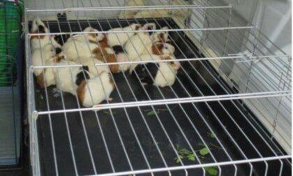 Chiusi dentro scatoloni e abbandonati perché malati, le foto dei 25 porcellini d'India salvati dalla Polizia locale