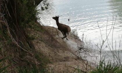 Dopo i delfini nel Canal Grande ora spunta un cervo lungo il Piave