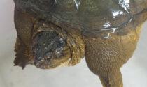 Un suo morso può tranciarvi di netto le dita: a Jesolo sbarca la pericolosa tartaruga azzannatrice
