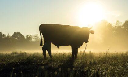 Escursionista veneziano 50enne caricato da una vacca: costole fratturate