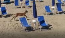 """La natura incanta i bagnanti, il video del capriolo che """"invade"""" la spiaggia di Bibione"""