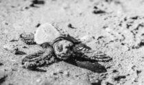 L'attesa è finita: ecco il video delle prime tartarughine nate a Jesolo