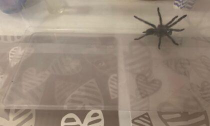 Faccia a faccia con la tarantola super aggressiva al Lido: catturata nel giardino di casa