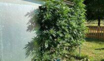 Serra di cannabis in casa, arrestata coppia incensurata a Mirano