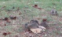 Il raccapricciante video dell'invasione di topi in un giardinetto pubblico
